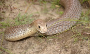 Snake mistake: CSIRO says it's a myth that Australia is home to