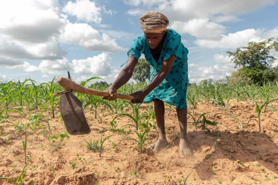 Josephine Ganye working in her maize fields, the crop wilting and stunted by drought in Zimbabwe