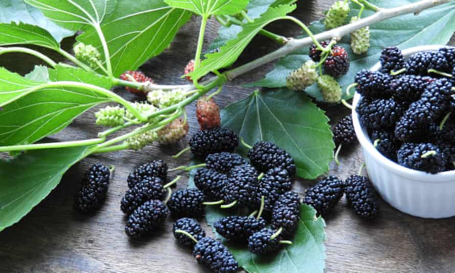 Freshly picked mulberries and their leaves.