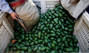 The avocado harvest in California