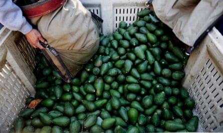 The avocado harvest in California