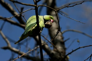 A rose-ringed parakeet feeds itself as it sits on branch of a tree in Izmir, Turkey