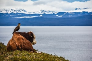 Bird perches on cow as both look out across water