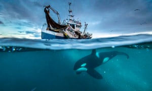 An orca swims below a Norwegian herring boat.