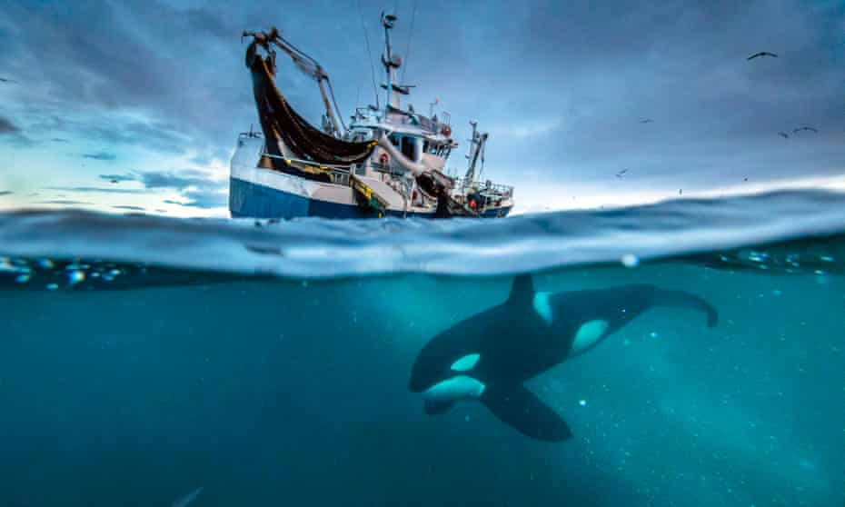 An orca swims below a Norwegian herring boat.
