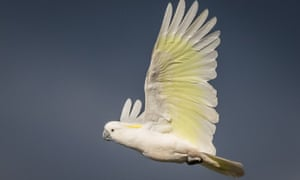 The sulphur-crested cockatoo