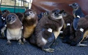 Endangered African penguin rehabilitation