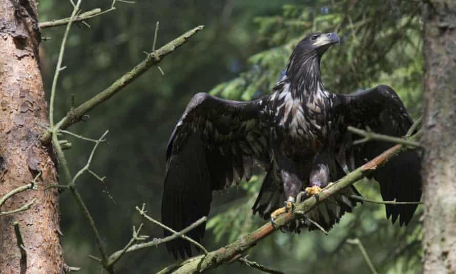 A juvenile white-tailed eagle.