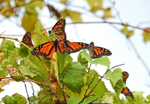 Monarch butterflies at Point Pelee national park in Canada