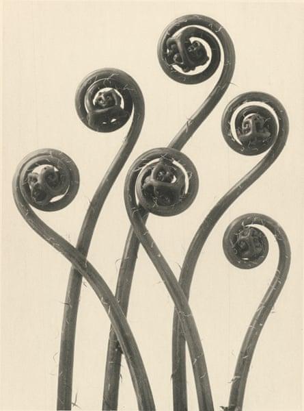 Adiantum pedatum, 1928 by Karl Blossfeldt.