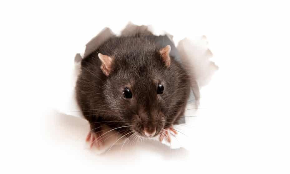 A rat bursting through some paper