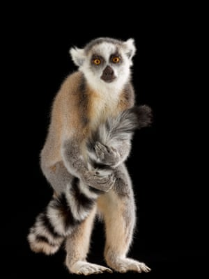 Ring-tailed lemur – endangeredRing-tailed lemurs defend their home range against neighbouring groups. Males rub their stripy tails against large wrist glands, leaving a distinctive scent on their tails.