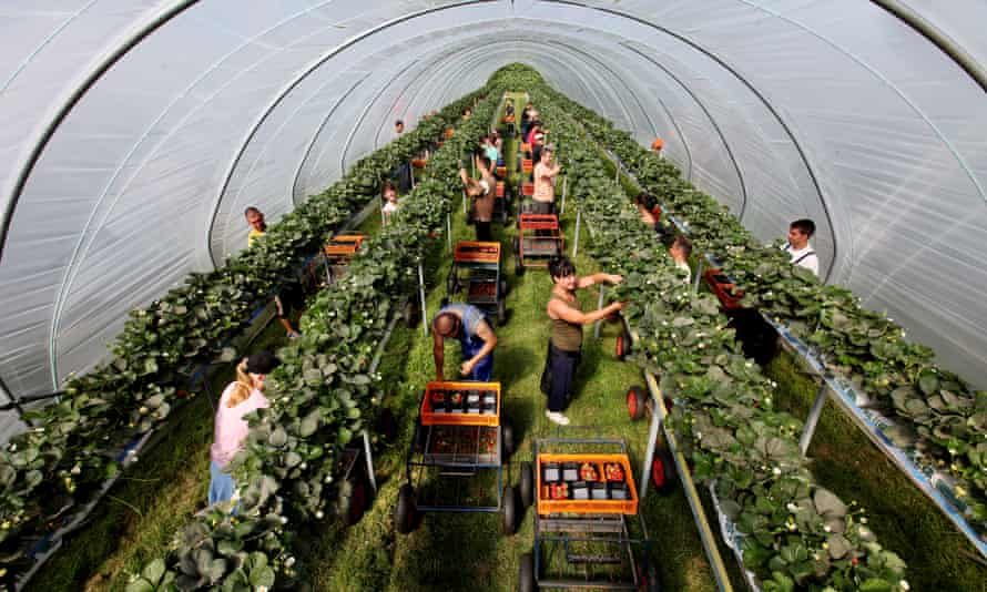 Strawberry pickers, mostly from Poland, in poly-tunnels on a farm in Kent.