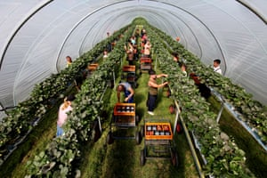 Pickers at Kelsey farm in Kent, which produces 1.25m Jubilee strawberries each year. British growers estimate they will sell about 70,000 tonnes of strawberries this year, up from about 65,000 tonnes last year.
