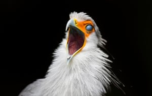 A Secretary bird rolls its eyes back as it squawks at the World of Birds Wildlife Sanctuary in Cape Town, South Africa