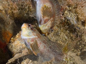 Two blennies fight for their perch spot on the reef.