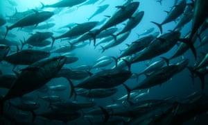 Tuna fish off the coast of Turkey.