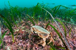 Maerl and seagrass beds off Orkney, Scotland