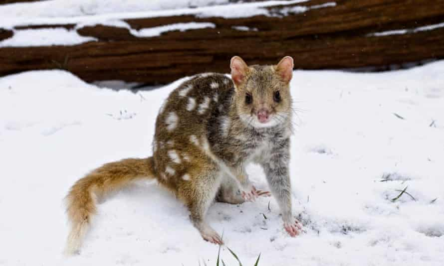 Eastern quoll, in the snow at the threatened native animal reserve Aussie Ark at Barrington Tops, NSW, Australia