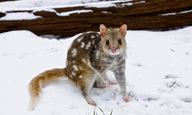 'The unsung heroes of Australian fauna': how quolls can help us understand the modern world