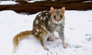 Eastern quoll in the snow