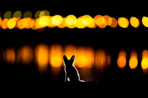 An Arabian red fox kitten explores Kuwait city at night just outside its den