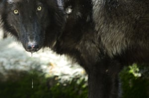 A gray wolf named Amarok feeds at Medellin zoo, Antioquia, Colombia