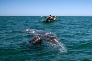 The grey whales spend a relatively small part of their lives within El Vizcaino