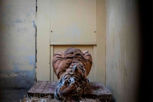 Gogh, a male tiger seized on the Polish-Belarusian border, languishes in his temporary enclosure at a zoo in Poznań, Poland