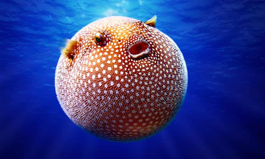 White spotted pufferfish (Arothron meleagris) inflated