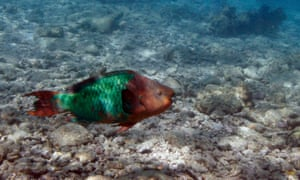 A parrotfish swims over a dead coral reef in the Florida Keys national marine sanctuary near Key West, Florida.