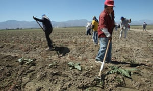 Undocumented farm workers from Mexico at work on a farm in California