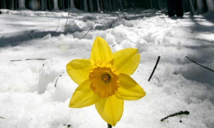 daffodil in Glenariffe Forest Park in County Antrim, Northern Ireland.