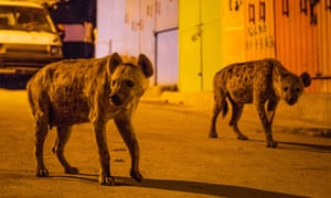 A pair of spotted hyenas on the streets of Harar in Ethiopia.