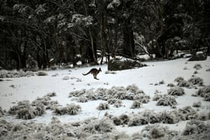 A kangaroo jumps through the snow at Wadbilliga national park, near Nimmitabel, Australia