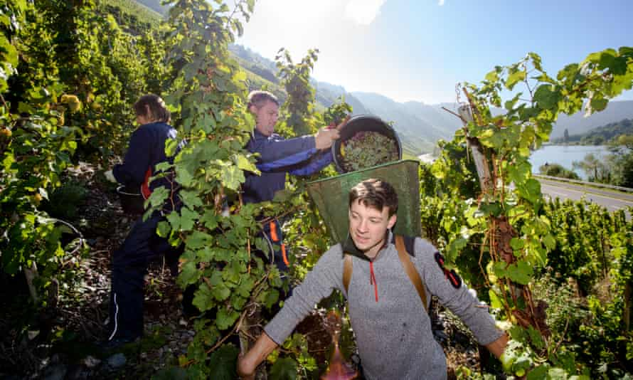 Riesling and shine: winemakers harvest grapes in Germany's Mosel region.