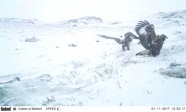 Scavenger birds such as eagles, pictured, visited the highest density of carcasses in 2017.