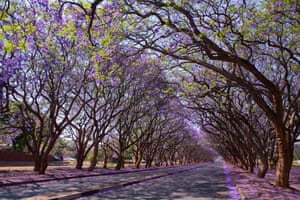 Blooming jacaranda trees in Harare, Zimbabwe.
