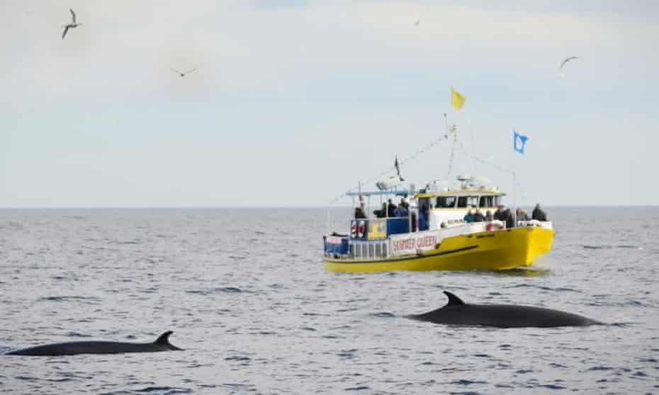 Whitby Whale Watching's Summer Queen boat with minke whale nearby