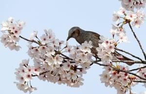 A brown-eared bullbul sucks nectar from cherry blossoms