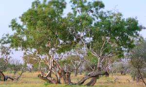 Coolibah tree
