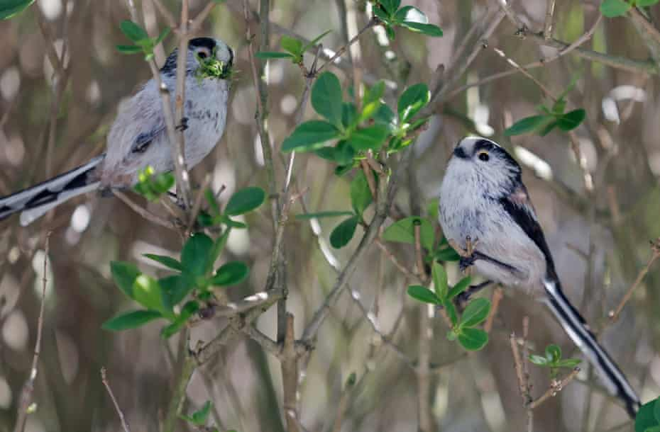 The two adult long-tailed tits, one carrying bits of lichen to help build their nest, sit in a hedge