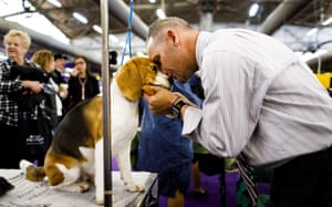 Handler Aaron Wilkerson of Florida pets a Beagle named Logan while grooming him before competition during the 2019 Westminster Kennel Club Dog Show