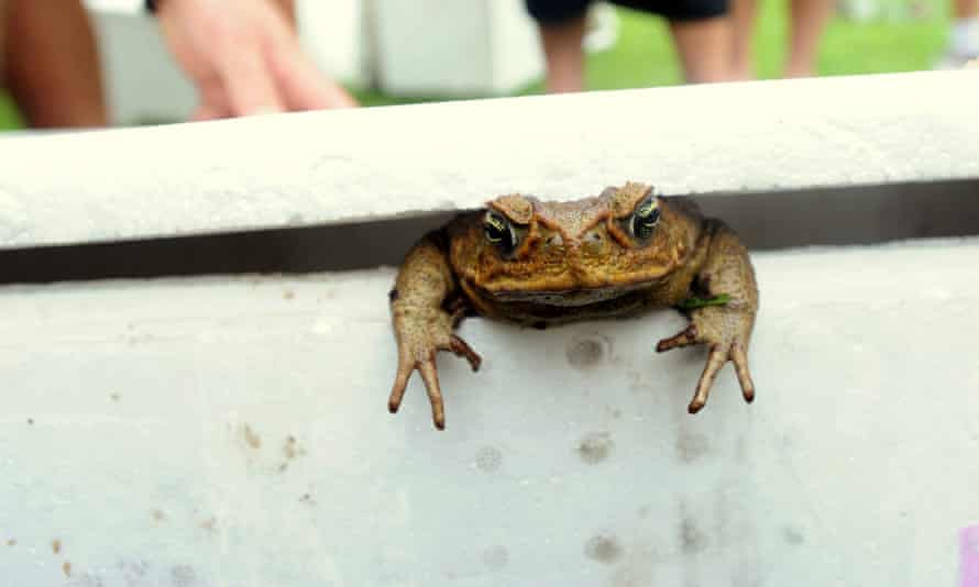 A cane toad tries toe scape from a box as part of the Toad Day Out collection event in Cairns, Australia.