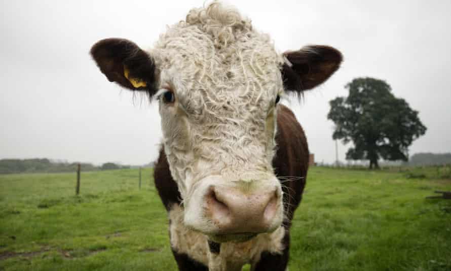 An organically reared bullock at Fordhall farm in Market Drayton.
