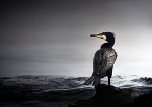 Animal portraits highly commended (2015): Waiting for the Next Meal (cormorant) by Max More, Rhosili, Gower, West Glamorgan