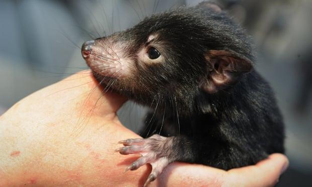 Tasmanian Devil Cancer