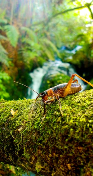 This species of tusked weta can grow up to 3.6cm in length. In a land over-run with land-based predators, its ingenious strategy to escape danger has proved very useful. It jumps into water and can hold its breath for more than five minutes - enough time for predators to give up and move on.