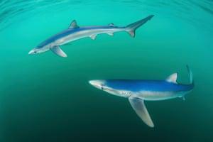 Coast and Marine Category: Paul Colley, 'Beautiful Blues', Blue Shark, Penzance, Cornwall, England