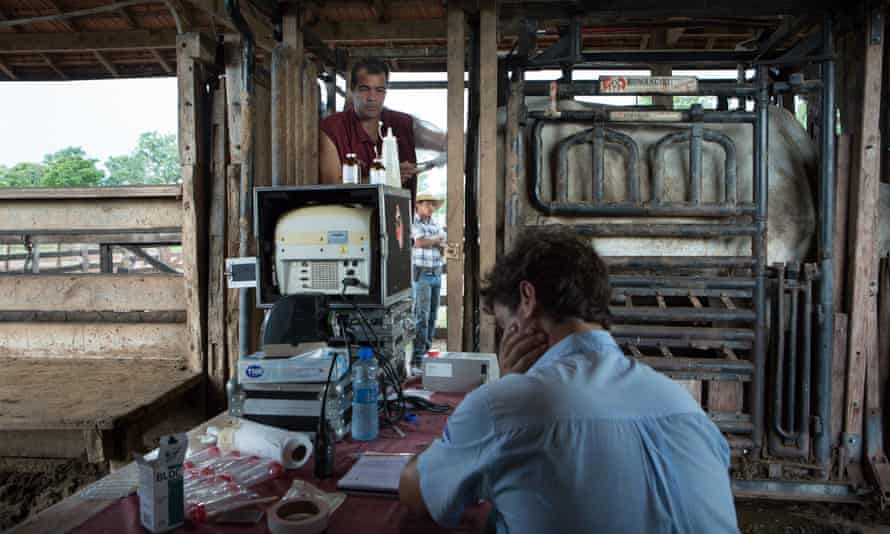 The veterinarian Gustavo Luiz dos Santos, 38, tecnic director of Bioembryo laboratories, working on the suction of the ovules of the cows. In front of him, Rodolfo Rodrigues da Cunha Machado Borges the veterinarian responsable at his family business. Mato Grosso, Brazil.